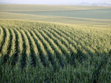 Corn on contours