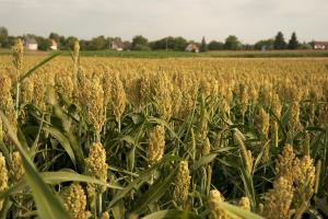 grain field _DSC2817